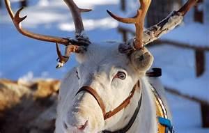 Nom Des Rennes Du Pere Noel : un renne ~ Medecine-chirurgie-esthetiques.com Avis de Voitures