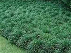 GROUND COVER, GRASS, MONKEY GRASS, MONDO GRASS, LIRIOPE ...