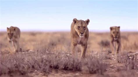 amazing animated lion gifs  animations