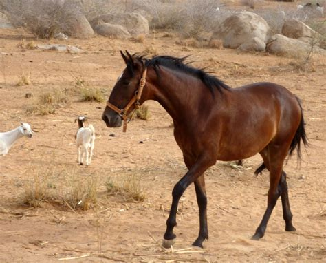 horse barb african horses africa animals breeds breed abaco west bay different quarter american discover bandiagara open history horsebreedspictures
