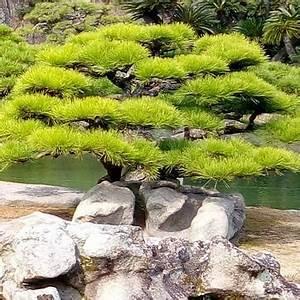 Arbre En Nuage : l art du niwaki comment tailler les arbres et arbustes en nuage ~ Melissatoandfro.com Idées de Décoration