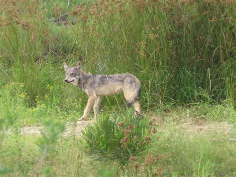 Wisconsin wolf population growing, but new hunt still in ...