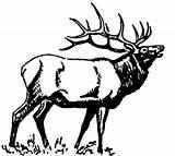 Elk Coloring Bugling Books Carving Moose sketch template