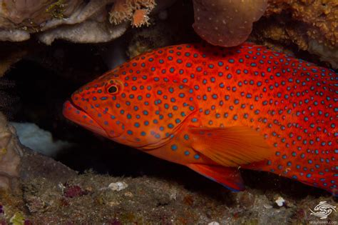 coral cod rock grouper seaunseen miniatus reproduction photographs facts
