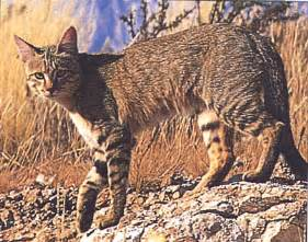 origin of domestic cats the origin of the domestic cat revealed by dna