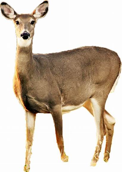 Deer Transparent Doe Background Clipart Silhouette Fawn