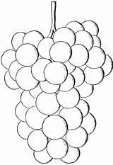 Grapes Coloring Grape Pages Printables Native Salem Hybrids Varieties Very sketch template