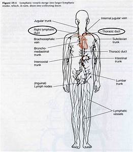 Lymphatic System Lymph Nodes Diagram