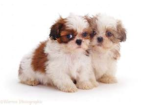 Tiny Non Shedding Dog Breeds by Dogs Two Shih Tzu Pups 7 Weeks Old Photo Wp11014