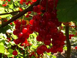Wann Müssen Apfelbäume Geschnitten Werden : johannisbeeren richtig schneiden schweiz tipps ~ Lizthompson.info Haus und Dekorationen