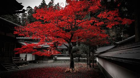 wallpaper japan house tree red leaves autumn