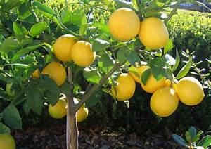 Lemon Tree Pictures  Photos  Images  U0026 Facts On Lemon Trees