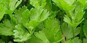 Celeri Branche Culture : c leri bio apium graveolens ache des marais persil ~ Melissatoandfro.com Idées de Décoration