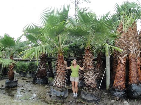 mexican fan palm care wild mexican fan palm pictures to pin on pinterest pinsdaddy