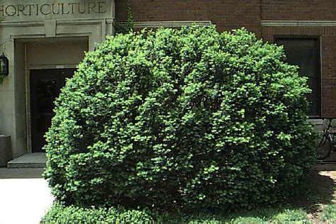 yew bush how to grow yews growing and caring for yews