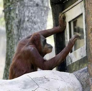 Atlanta Zoos Orangutans Play Video Games