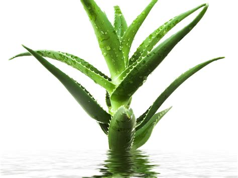 aloe vera pflanze aequivalere