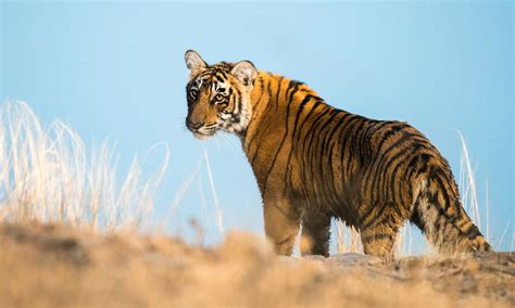 global wild tiger population increases    long