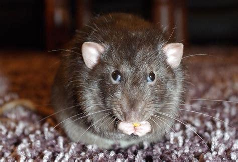 worlds  human case  rat disease   hong kong