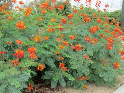 Desert Shrubs  Caesalpinia Pulcherrima  Tjs Garden
