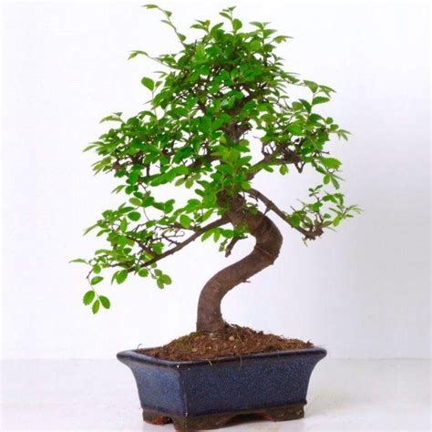 japanese style garden plants beautiful 39 curved s shape 39 bonsai tree with glazed dish