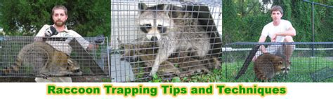 How To Catch A Raccoon In My Backyard by How To Catch A Raccoon In The Attic Roof Ceiling House