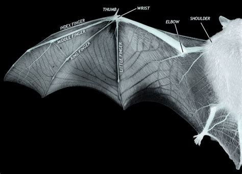 diagram showing  structure  bat wing  thin membrane