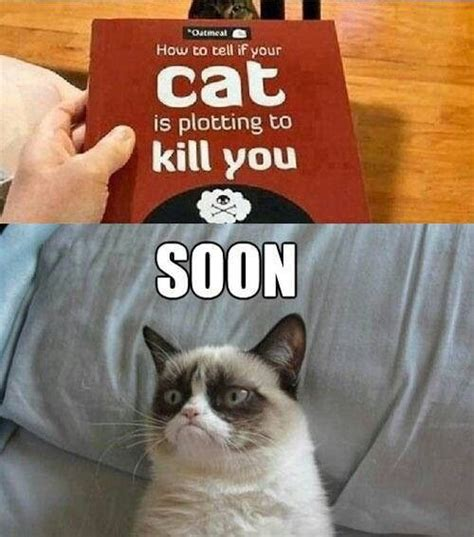 Cat Soon Meme - 463 best grumpy cat images on pinterest grumpy cat funny kitties and funny things