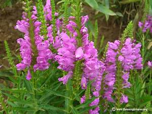 Pink obedient plants picture