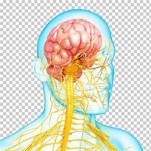 Autonomic Nervous System Cartoon