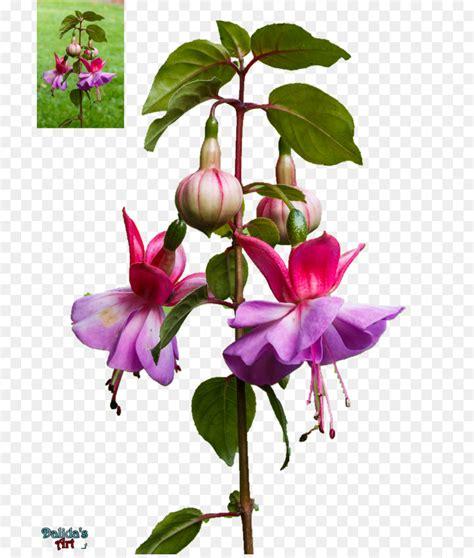 clipart fiore fucsia portable network graphics clipart fiore di sfondo