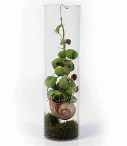 Pflanze Mit Z : schneckenhaus pflanze dischidia top rarit t baldur garten ~ Lizthompson.info Haus und Dekorationen