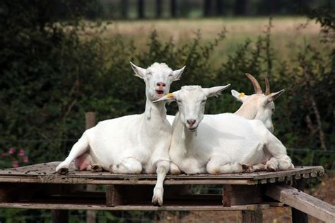 photo crazy goats goats humor funny  image