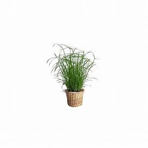 Cache Pot Tressé : papyrus 39 snowball 39 cache pot tress plantes et jardins ~ Teatrodelosmanantiales.com Idées de Décoration
