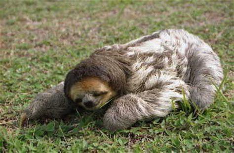 Animal Dormeur by Singe Par 233 Sseux De Geniamajek