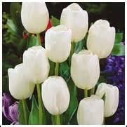 white tulip bulbs for sale buy tulip bulbs below