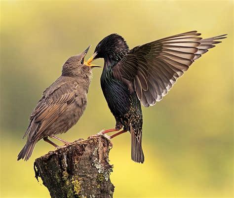 the starling facts the garden of eaden