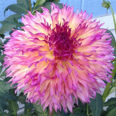 how to take care of dahlias in a pot how to care for dahlias with pictures wikihow