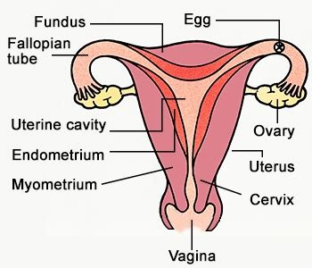 labeled-female-reproductive-system-diagram.jpg | The ...