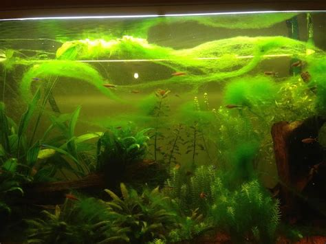 barbe 224 papa d algues filamenteuses vertes
