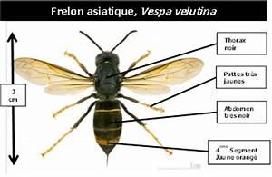 Comment Tuer Un Frelon : lutter contre les insectes nuisibles dans la manche le frelon asiatique un danger pour l ~ Melissatoandfro.com Idées de Décoration