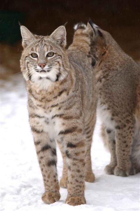 bobcats  wild umm viral great lakes echo