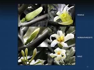 Floral Biology Of Papaya