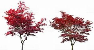 Roter Japanischer Ahorn : roter japanischer ahorn jung und alt stock photo 590627596 istock ~ Frokenaadalensverden.com Haus und Dekorationen