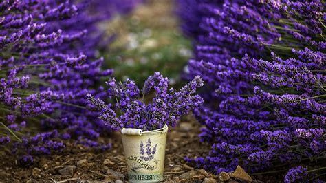 Download Free Lavender Flower Backgrounds
