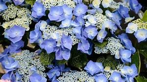 Wie Lange Blühen Hortensien : hortensien schneiden ja oder nein ~ Frokenaadalensverden.com Haus und Dekorationen