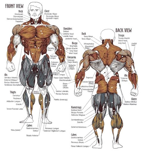 Naming skeletal muscles according to a number of criteria: Muscle Workouts - Staggering Muscle Groups for Maximum ...