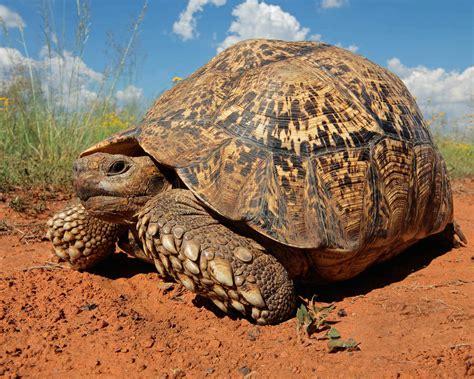 outdoor tortoise  turtle pens    care