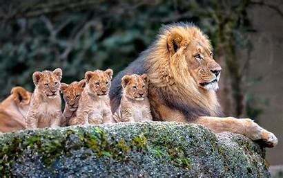 Animals Nature Lion Desktop Backgrounds Wallpapers Mobile