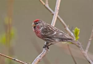 Vogel Mit Roter Brust : vogel mit roter brust ~ Eleganceandgraceweddings.com Haus und Dekorationen